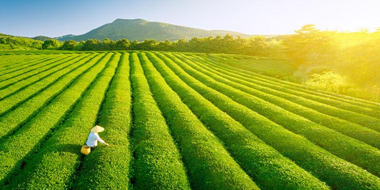 日本の茶畑の様子(イメージ画像)