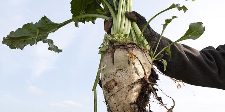 収穫したサトウダイコン