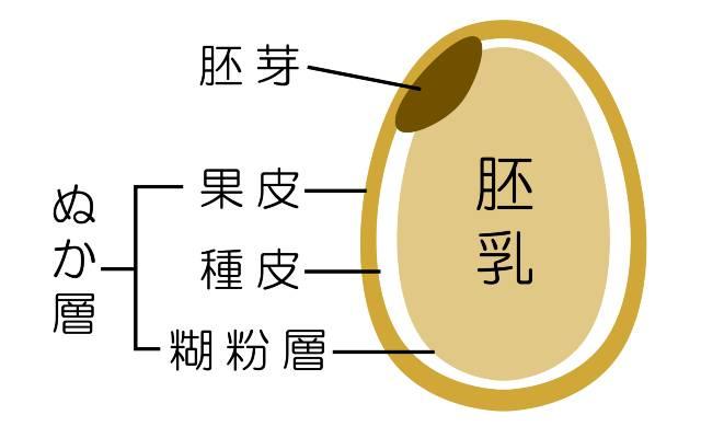 お米の構造(イメージ図)