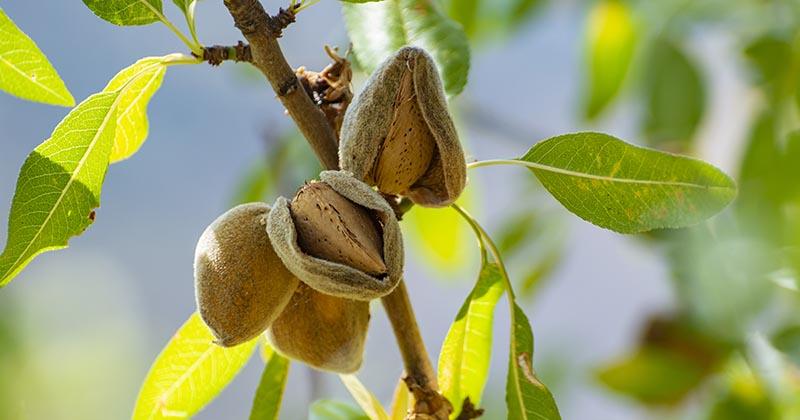 アーモンドの木の実(イメージ画像)