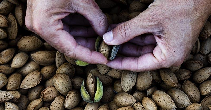 アーモンドを収穫して殻をむく様子(イメージ画像)