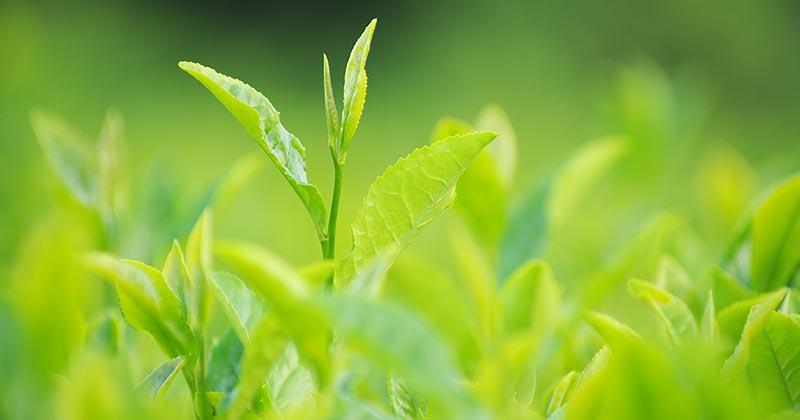 日光を浴びる茶葉(イメージ画像)